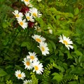 How to Care for a Wilting Daisy