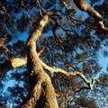 How to Age a Live Oak Tree