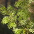 How to Feed Pine Trees