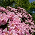 How Severely Can You Cut Back a Rhododendron?