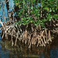 The Life Cycle of a Mangrove Tree