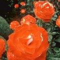 The Best Homemade Spray for Black Spots on Roses