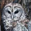 How to Attract a Barred Owl to an Owl House