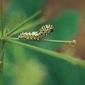 Homemade Caterpillar Killer