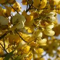 How to Grow a Golden Shower Tree
