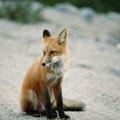 How to Locate a Fox Den