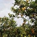 Do Lemon Trees Grow Well in Georgia?