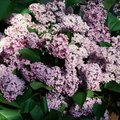 How Long Do Lilacs Take to Grow?