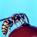 Homemade Wasp Baits & Attractants
