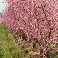 The Best Peach Trees for Wisconsin