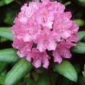 How to Collect Rhododendron Seeds
