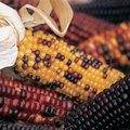 How to Dry Corn on the Cob