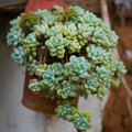 How to Water Sedums