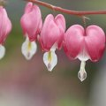 How to Grow Bleeding Hearts in Florida