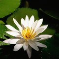 Uses of Lotus Flowers