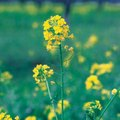 The Life Cycle of Mustard Plants
