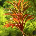 How to Care for Cordyline Fruticosa