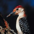 How to Get Rid of Woodpeckers on My House