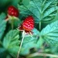 Black Stuff on Raspberries