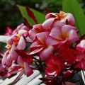 How to Make a Plumeria Plant Flower