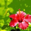 Characteristics of a Hibiscus