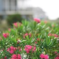 How to Trim an Oleander Bush