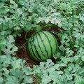 Melon Vine Identification
