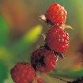 Do Raspberries Grow on a Vine?