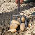 When to Plant Seed Potatoes in Ohio?