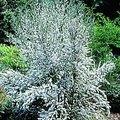How to Grow Leptospermum Plants