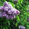 How to Care for Lilac Trees