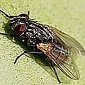 How to Kill Houseflies without a Flyswatter