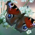 What Does the Butterfly Do for Nature?