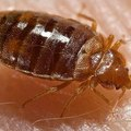 How Does a Bed Bug Infestation Start?