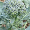 How Does Broccoli Reproduce?