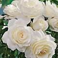 How to Prune Iceberg Roses