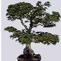 How to Identify Bonsai Trees