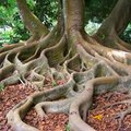 About Tree Roots