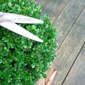 How to Trim Boxwood Hedges into Designs