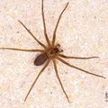 How to Naturally Get Rid of Brown Recluse Spiders