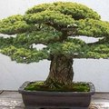 How to Grow Bonsai Plants