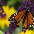 How to Attract Butterflies to a Butterfly House