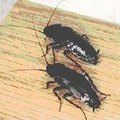 How to Make a Boric Acid Solution for Spraying Cockroaches