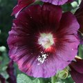 When Do Hollyhocks Bloom?