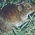 How to Kill Vole Populations