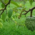 How to Grow a Sugar Apple Tree