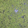 Facts on Duckweed