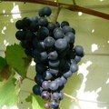 How to Prune Concord Grapevines