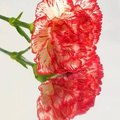 How to Deadhead Carnations