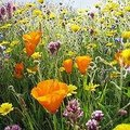 How to Plant Wildflower Seeds
